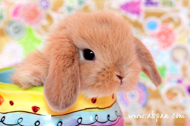 Lolli Lop Bunny