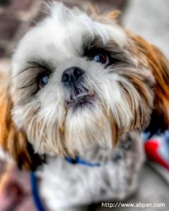 shih tzu, puppy, portrait - Angela B. Pan Photography