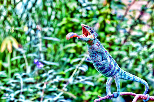 panther chameleon, reptile, lizard, tongue - HDR Chameleons