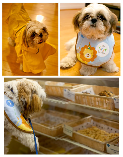 shih tzu, puppy, birthday - Angela B. Pan Photography