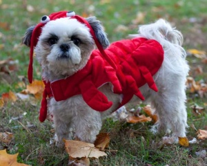 shih tzu, puppy, halloween, lobster - Angela B. Pan Photography