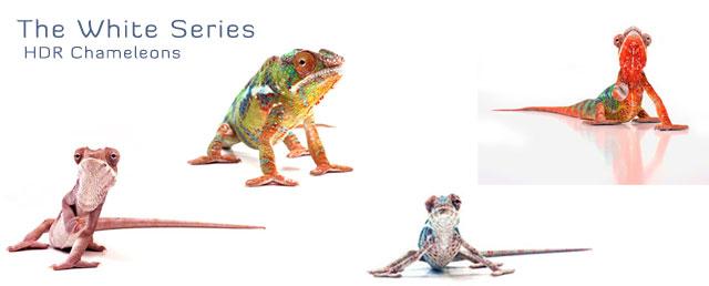 hdr chameleons, white series, nosy be, ambilobe, juvenile panther chameleons, female, chameleon products, chameleon gifts