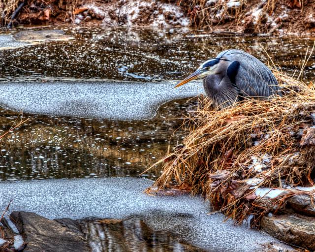 blue heron, bird, hdr, virginia, landscape, photography