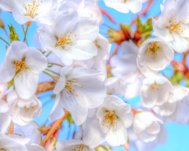 white, cherry blossoms, abpan, angela b. pan, washington dc, japanese, flowers