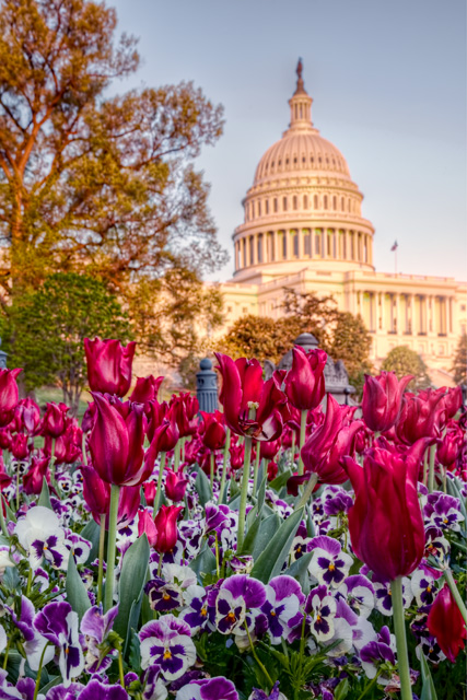us capitol, washignton dc, hdr, photography, angela b. pan, abpan, sunset, tulips, red