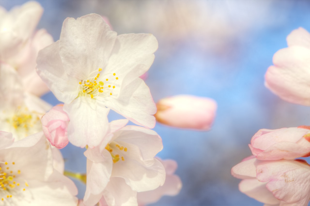 Cherry Blossom close up - Angela B. Pan Photography
