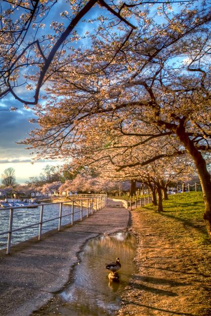 cherry blossoms, dc, sunset, japanese flower, ducks, landscape, angela b. pan, abpan