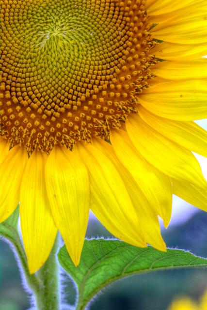 sunflower, abpan, angela b. pan, macro, flower, maryland, hdr, close-up
