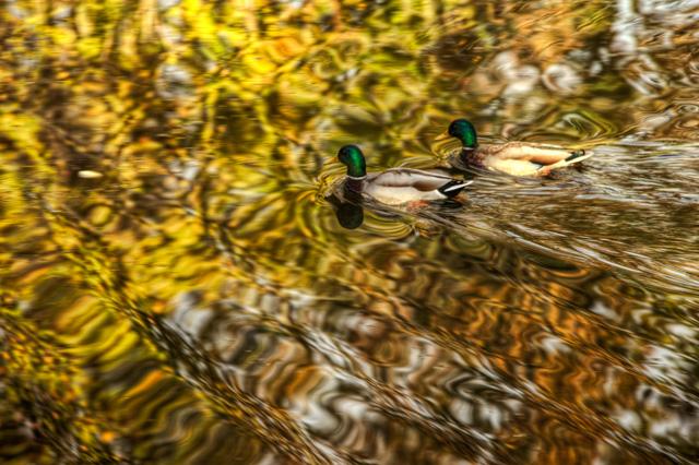 ducks, water, pond, angela b. pan, apan, hdr, nature, mallord, travel, hdr, virginia, meadowlark gardens,