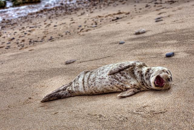 seal, california, wildlife, angela b. pan, abpan, hdr, beach, travel