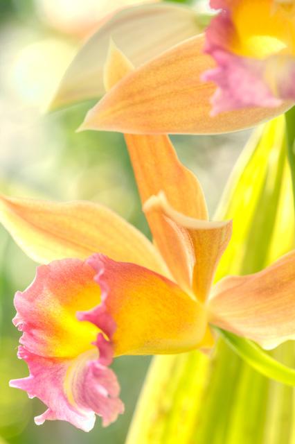 orchid, yellow, pink, angela b. pan, abpan, hdr, flower, macro, washington dc, botanical garden, photography, photo,