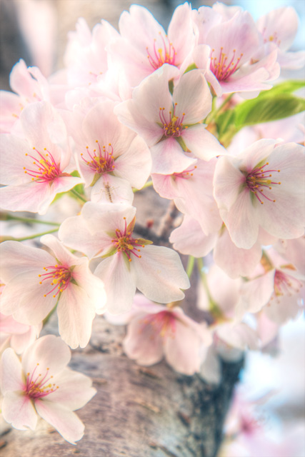 cherry blossoms, washington dc, japanese, tree, angela b. pan, abpan, hdr, nature, flowers