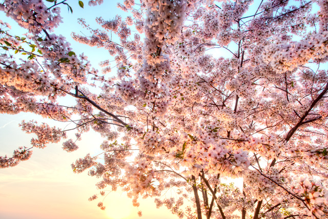 cherry blossoms, washington dc, travel, trees, hdr, photography, photo, tidal basin, sunrise