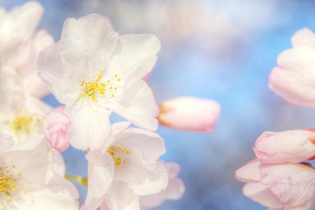 cherry blossoms, washington dc, tidal basin, japan, angela b. pan, abpan, macro, flower, photography, photo