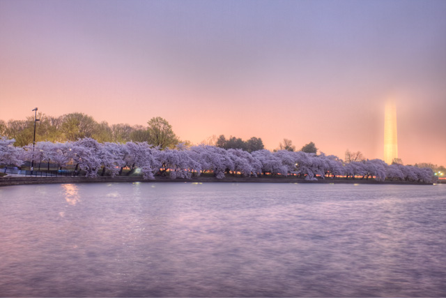 Cherry Blossoms blooming in DC during a foggy morning - Angela B. Pan Photography