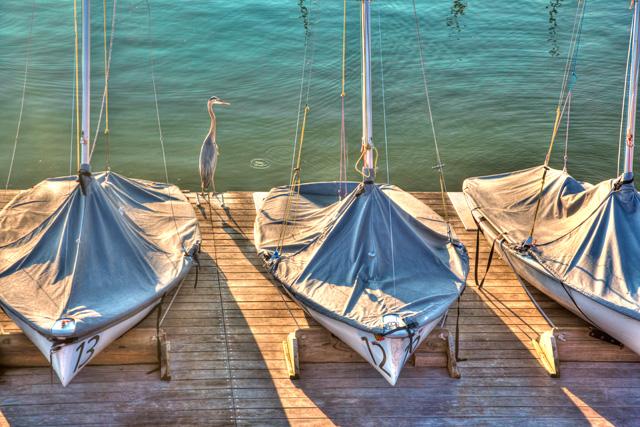 great blue heron, annapolis, bird, sunrise, landscape, boats, maryland, angela b. pan, abpan, hdr, travel, photography, photo, md