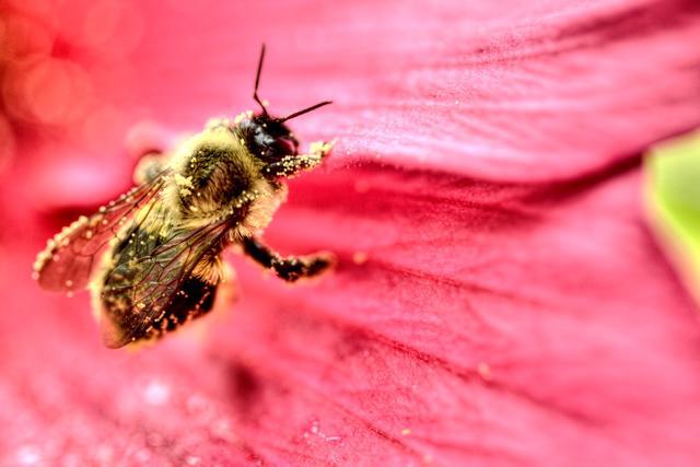 bee, flower, macro, nature, hdr, photography, photo, angela b. pan, abpan, va