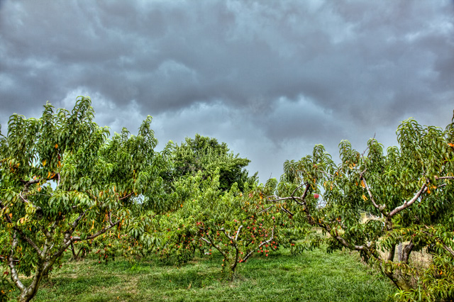 peach, trees, storm, picking, angela b. pan, abpan, hdr, landscape, photo, photography, screne, travel, va, delaplane
