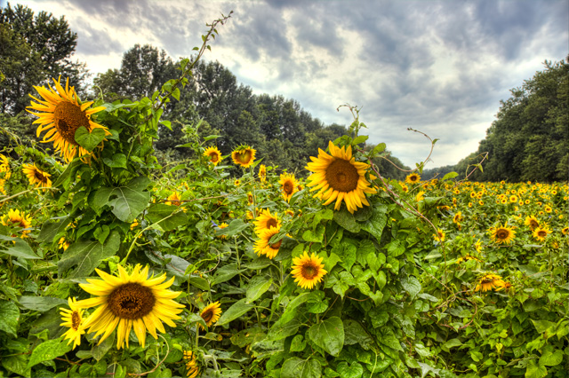 sunflower, field, maryland, southern, potomac, angela b. pan, abpan, mckee beshers, hdr, landscape, flower, sunrise