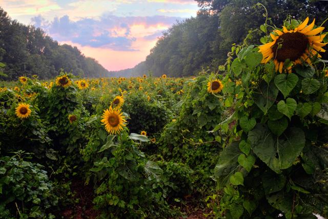 sunflowers, sunset, landscape, hdr, photography, photo, angela b. pan, abpan, maryland