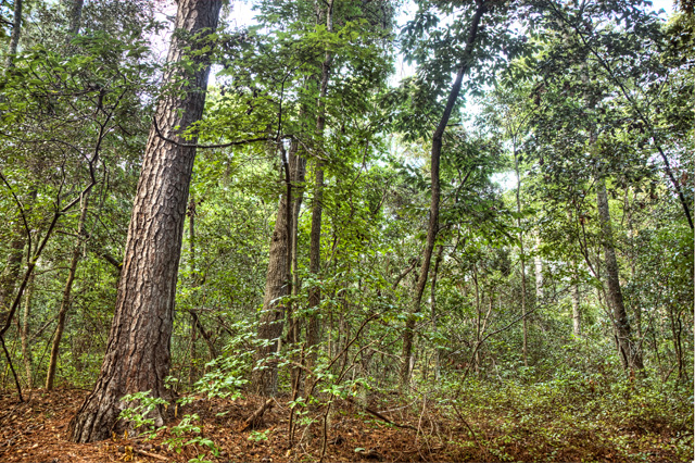 forest, first landing state park, hdr, landscape, angela b. pan, abpan, photo, photography,