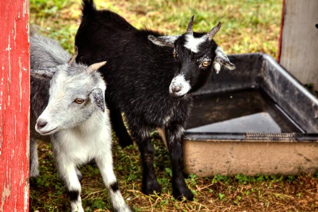 goats, hdr, delaplane, angela b. pan, abpan, virginia,