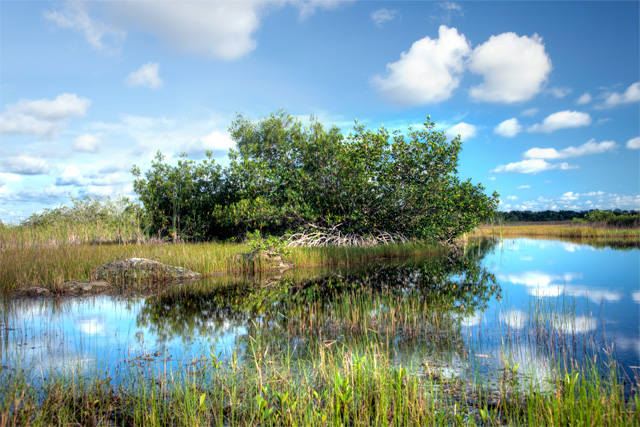 Mangrove tree in the Everglades, Florida