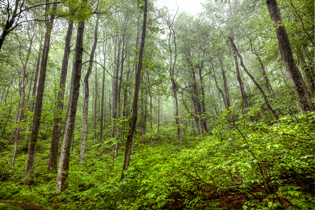 Trees in the Blue Ridge Mountains in Virginia