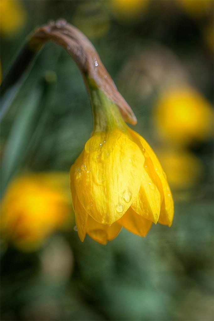 yellow, daffodil, macro, flora, drop