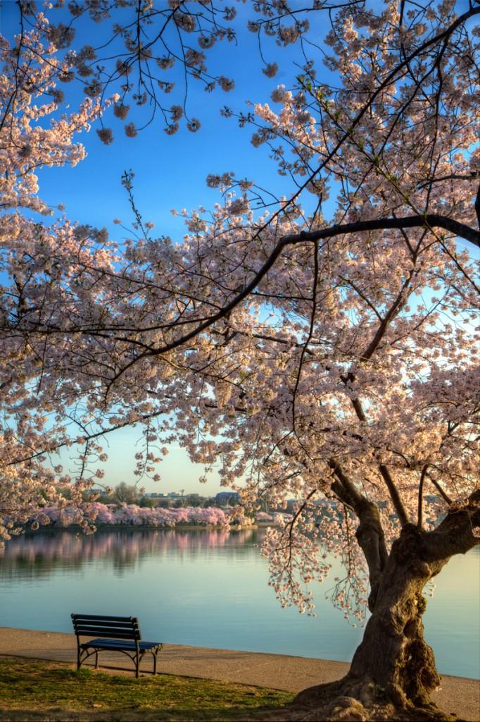 cherry blossoms, tidal basin, washington dc, sunrise