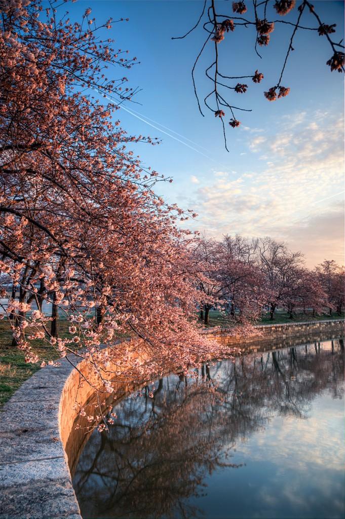 cherry blossoms, trees, sunrise, washington-dc