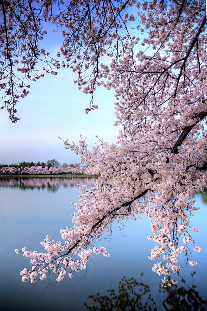 cherry blossoms, washington dc,