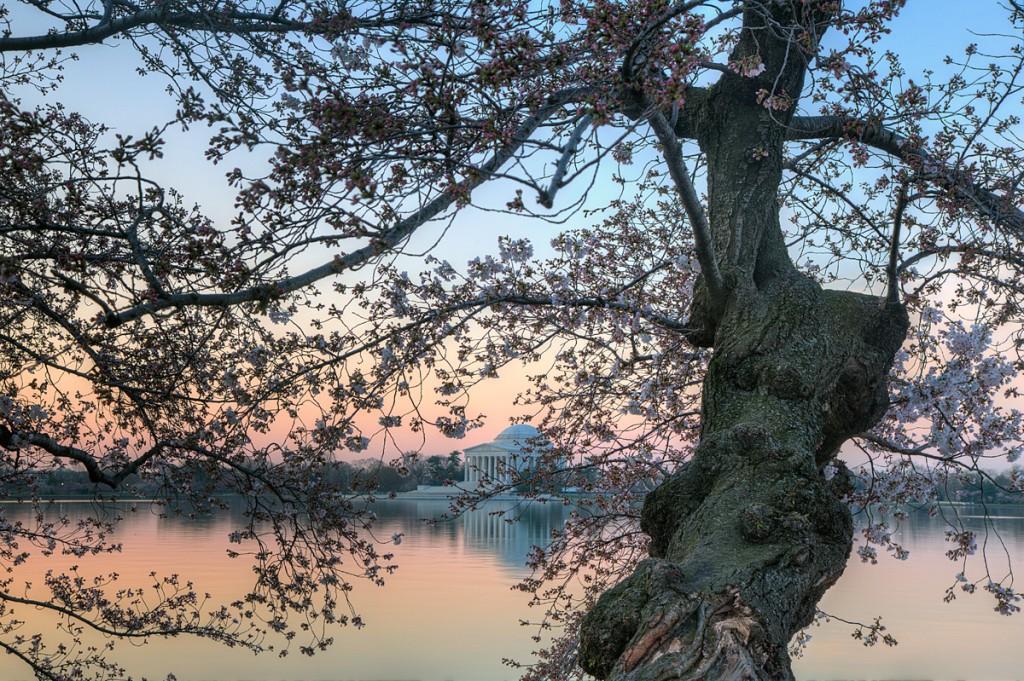 cherry blossoms, jefferson memorial, sunrise, washington-dc
