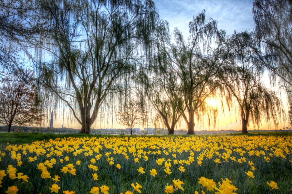 daffodils, sunrise, willow trees, gw parkway