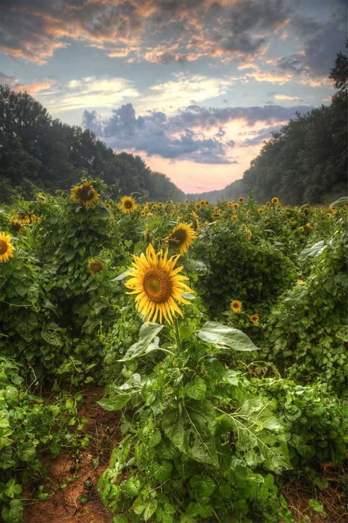 poolesville, maryland, sunflower