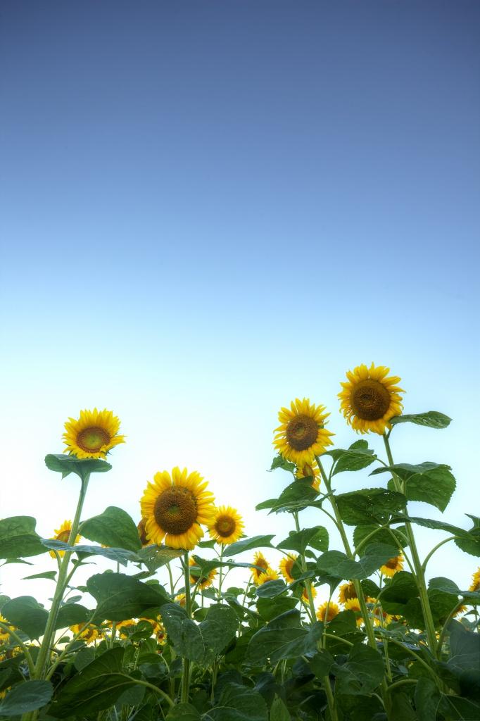 sunflowers, maryland, mckee-beshers, sky, united states, america, usa, flowers