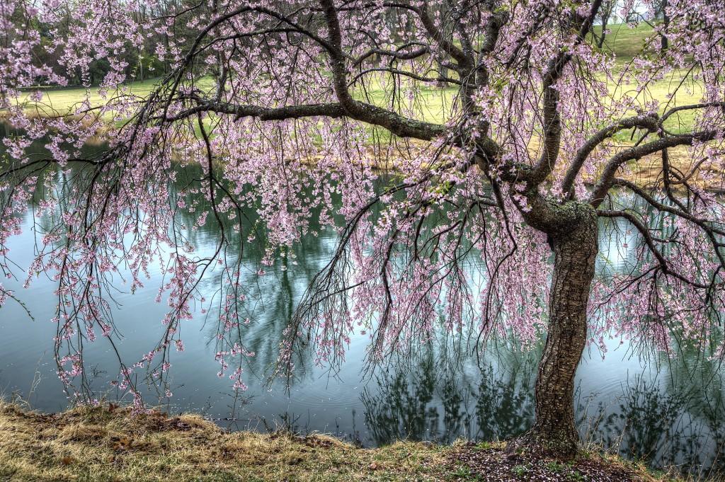 weeping cherry blossom tree, meadowlark, botanical garden