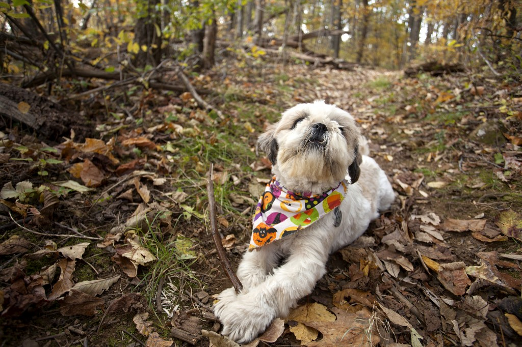 frankensteinlebron, frankie, frankenstein, shih tzu, dog, trees, trail, shenandoah national park, stick, leaves, travel, dog, love