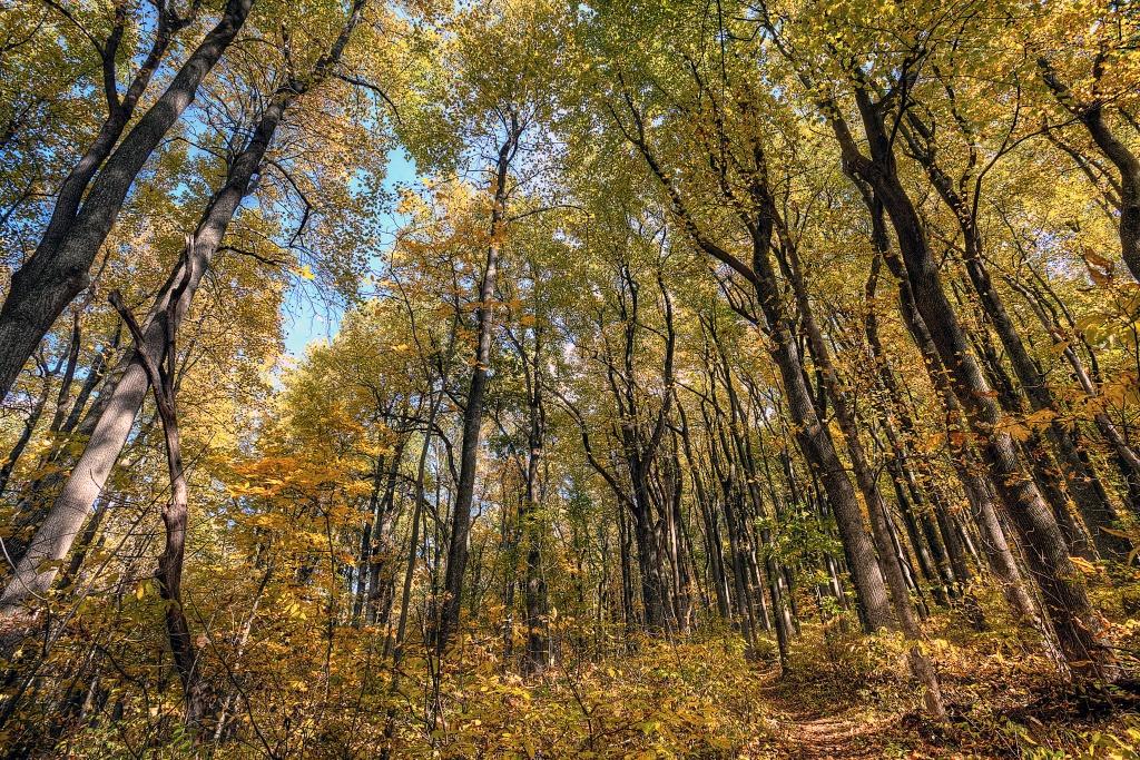 yellow, trees, path, trail, shenandoah, national park, autumn, fall, travel, virginia, va, mountains, united states, usa, america