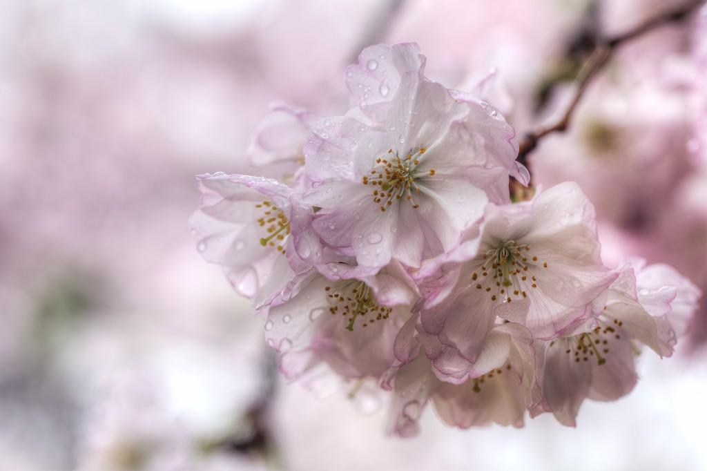 cherry blossoms, pink, washington dc, macro, rain, drops, trees,