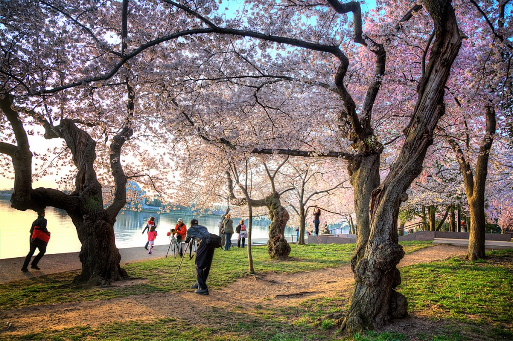 cherry blossoms, photographers, hdr, runners, tidal basin, washington dc,