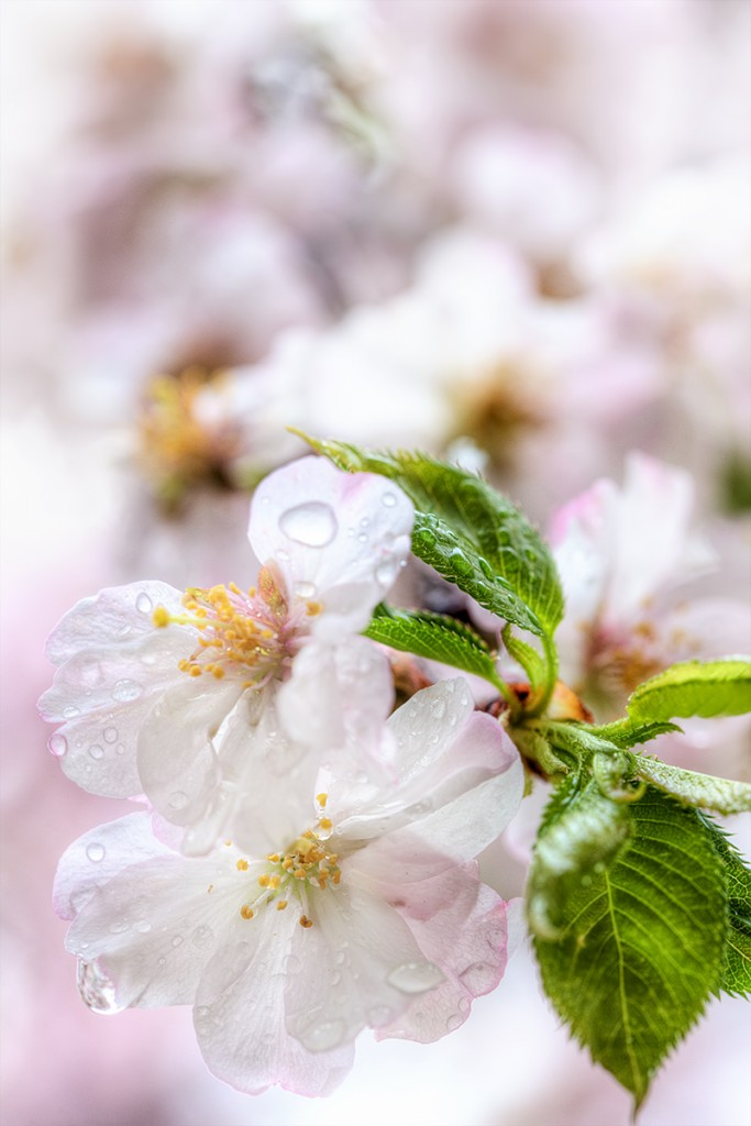 macro, cherry blossoms, close up, japanese, sakura, rain drops,