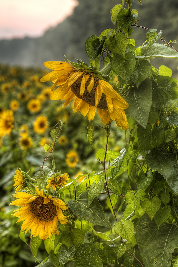 maryland, poolesville, sunflowers, rain, md, travel, flower