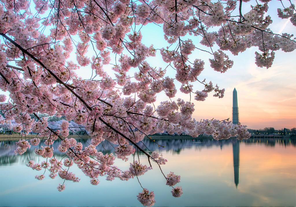 cherry blossoms, tidal basin, reflection, tree, washington dc, washington monument, scaffolding