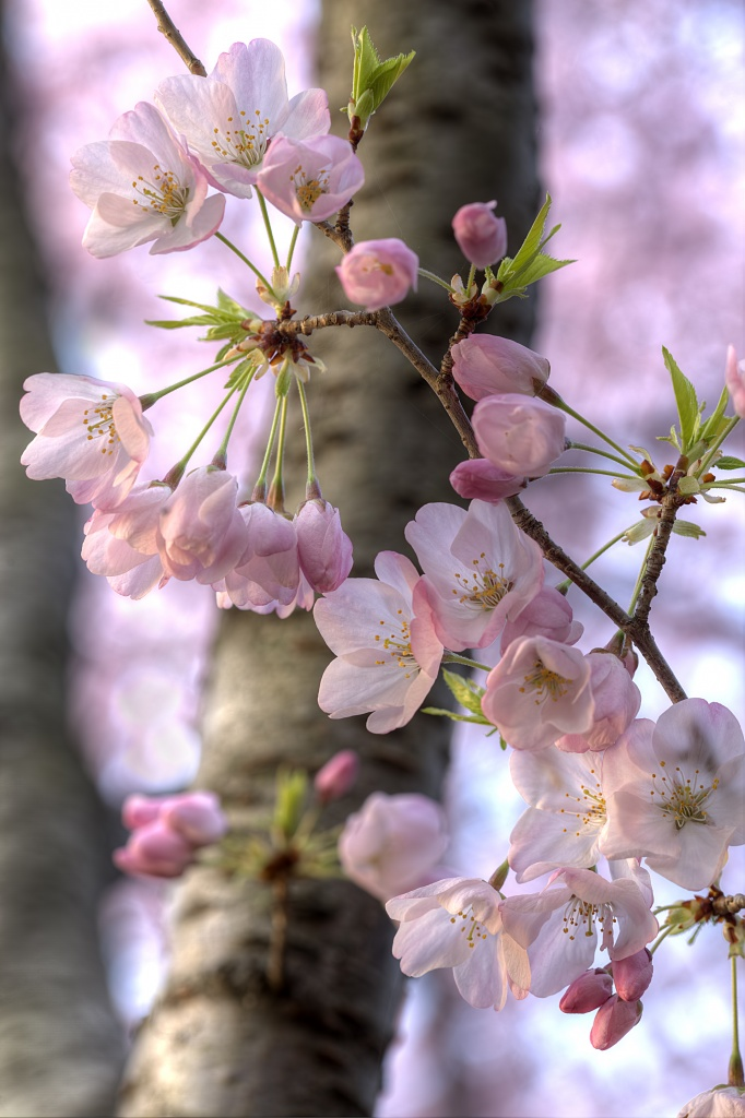 cherry blossoms, japanese flowers, sakura, washington dc, tidal basin, macro, flowers, pink, trees, spring,