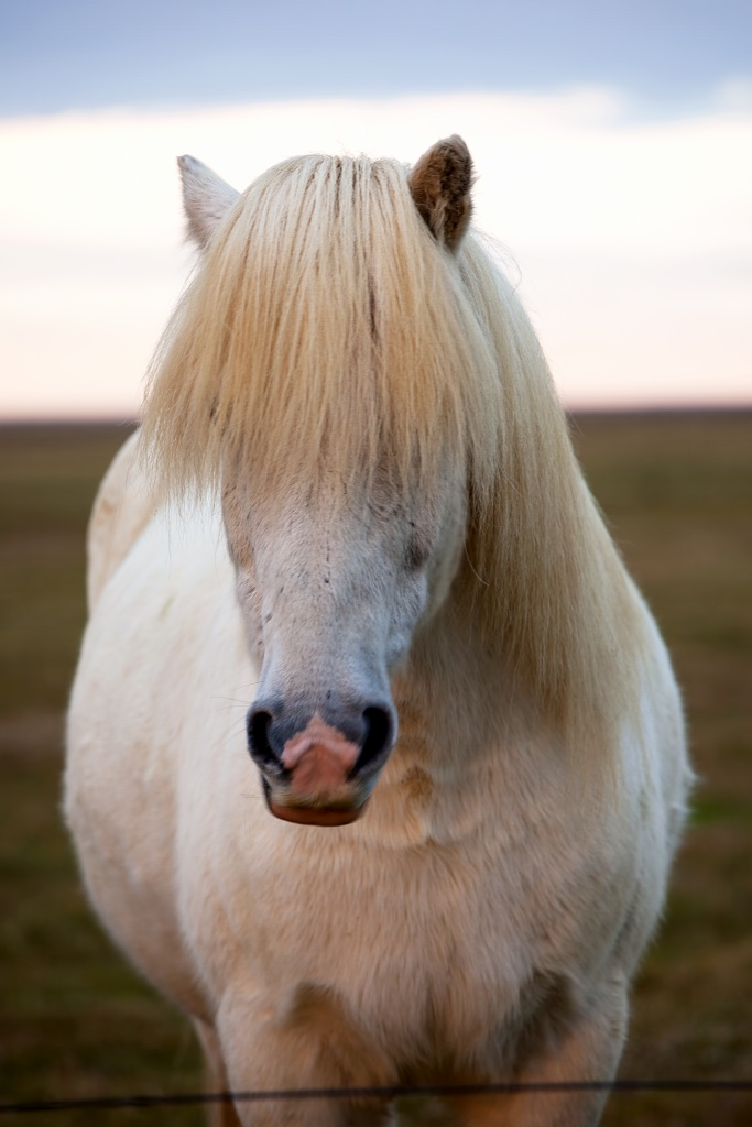 iceland, horse, white, sunrise, mane, travel
