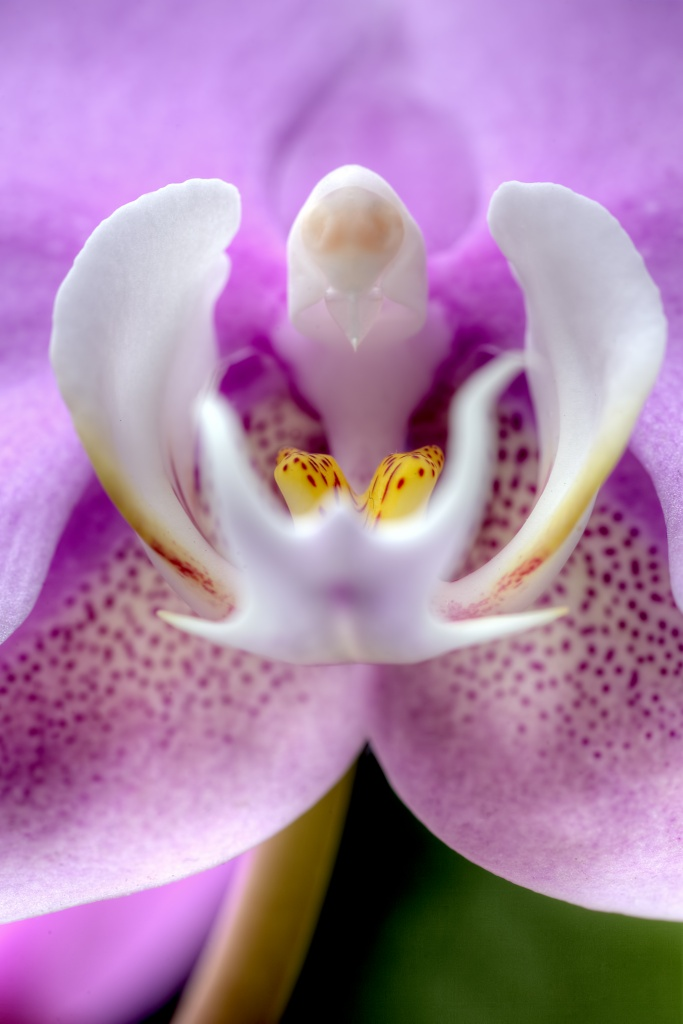 purple, orchid, flower, macro, us botanical gardens, washington dc, macro