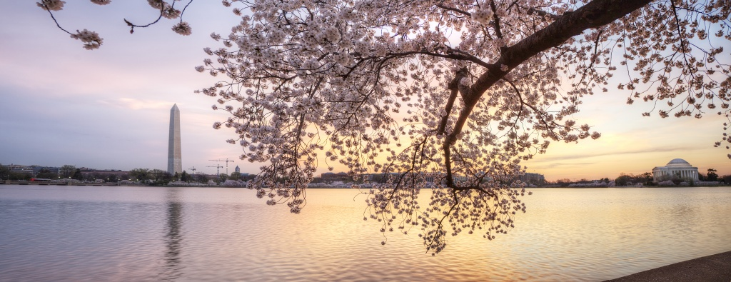 cherry blossoms, sunrise, tree, panoramic, washington monument, jefferson memorial, tidal basin, washington dc, festival, blooms, peak season, sakura, water,