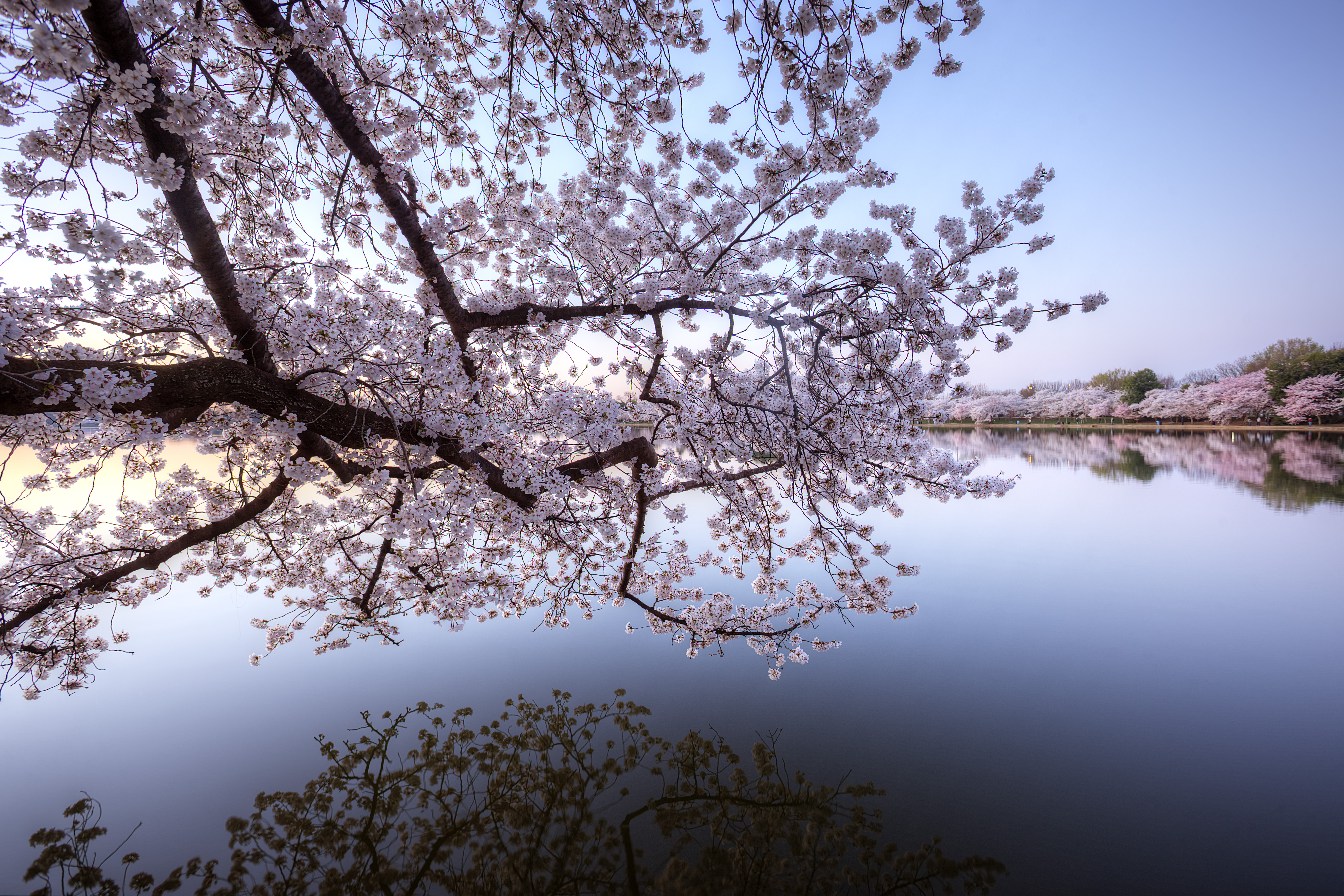 cherry blossoms, branch, early morning, tidal basin, trees, sakura, washington dc, sunrise, reflection,