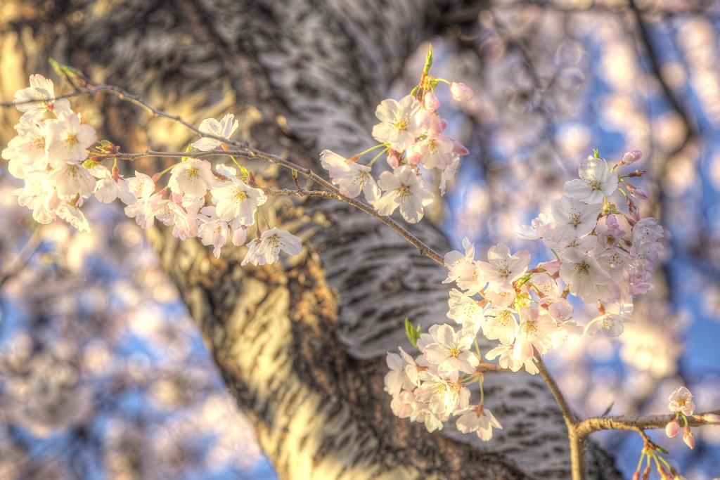 cherry blossoms, tree, flower, sakura, japanese flower, washington dc, spring, travel, hdr, photo